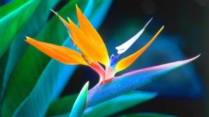 orkid-kuş gagaklı-