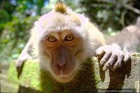 orkid-monkey