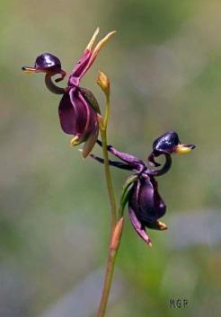 orkid-uçan ördek